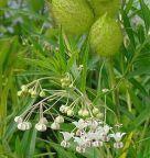 Gomphocarpus fruticosus falso cotone, erba della seta semi