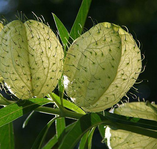 Gomphocarpus physocarpus balloon milkweed seeds