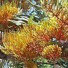 Grevillea robusta Australische Silbereiche - Seideneiche Samen