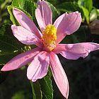 Grewia caffra flor estrella de lavanda semillas