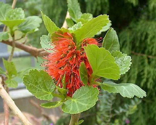 Greyia radlkoferi woolly bottlebrush seeds