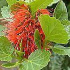 Greyia radlkoferi cepillo de botella lanudo semillas