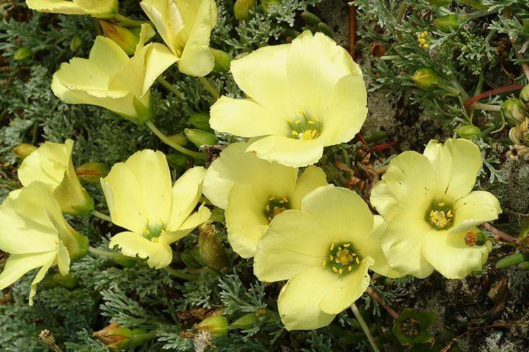 Grielum grandiflorum syn: Grielum tenuifolium Samen