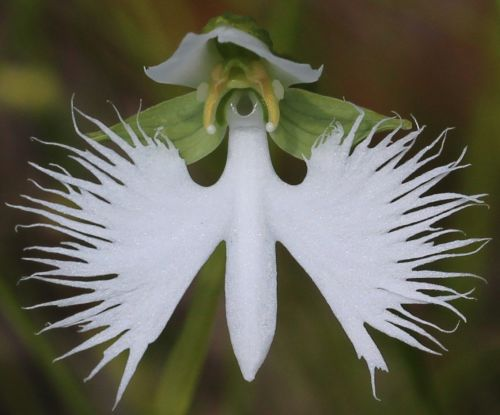 how to grow egret orchids from seed