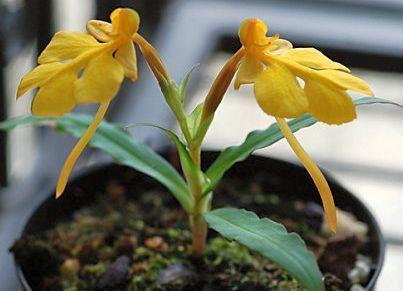 Habenaria xanthocheila orchids seeds