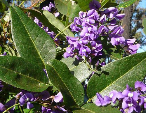 Hardenbergia comptoniana Native Wisteria seeds