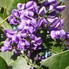 Hardenbergia comptoniana Hardenbergie violac?e graines