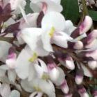 Hardenbergia violacea Alba Salsepareille Australienne blanche graines
