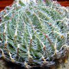 Haworthia decipiens syn: Haworthia pearsonii Samen