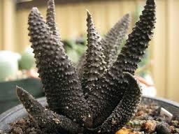Haworthia scabra succulent seeds