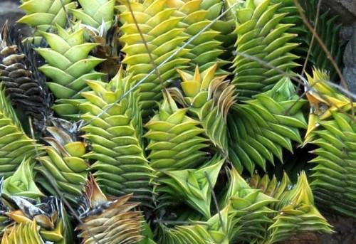 Haworthia viscosa succulent seeds