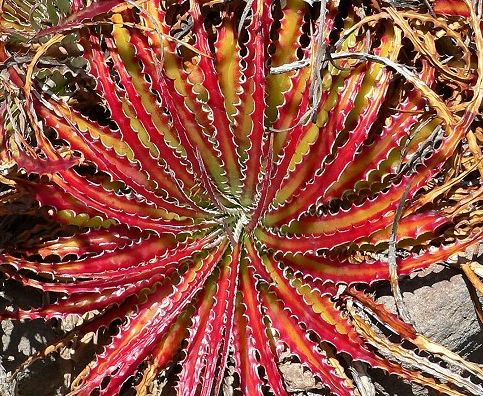 Hechtia scariosa syn: Hechtia texensis seeds