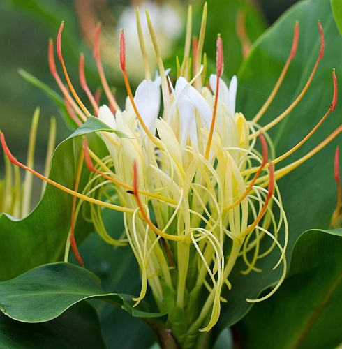 Hedychium ellipticum Rock Butterfly Lily seeds