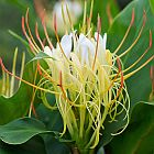 Hedychium ellipticum  semillas