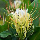 Hedychium ellipticum Zieringwer - Schmetterlingsingwer Samen