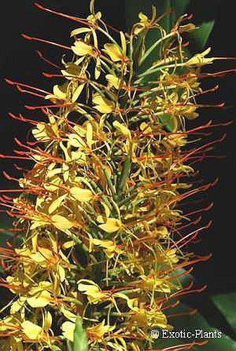 Hedychium gardnerianum Kahili Ginger, Ginger Lily seeds