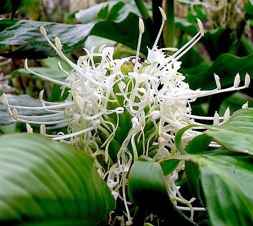 Hedychium thyrsiforme Pincushion Ginger seeds