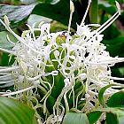 Hedychium thyrsiforme Zieringwer - Schmetterlingsingwer Samen