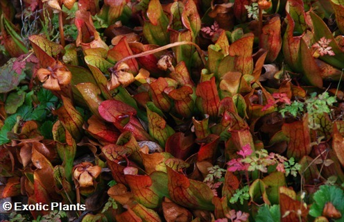 Heliamphora minor carnivorous plants seeds