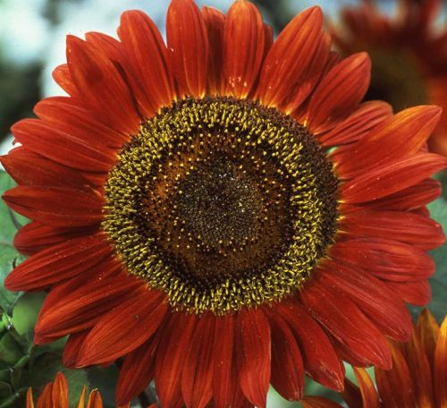 Helianthus annuus Red Sun Sunflower Red Sun seeds