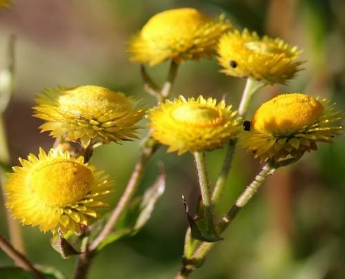 Helichrysum cooperi yellow everlasting seeds