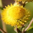Helichrysum cooperi  cемян