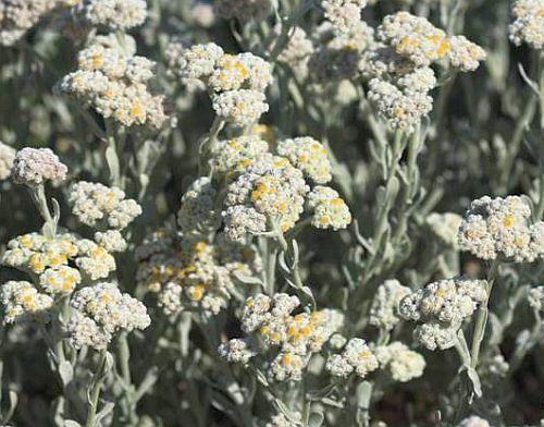 Helichrysum crispum Helichrysum seeds