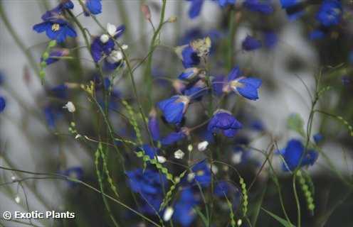 Heliophila coronopifolia showy sunflax seeds