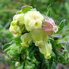 Hermannia hyssopifolia malva semillas