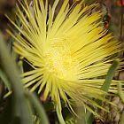 Herrea elongata Wildblume Samen