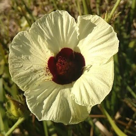 Hibiscus diversifolius  semillas