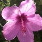 Hibiscus pedunculatus