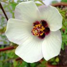 Hibiscus trionum Flower-of-an-Hour semi