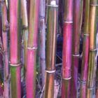 Himalayacalamus falconeri, roter Bambus Sämereien