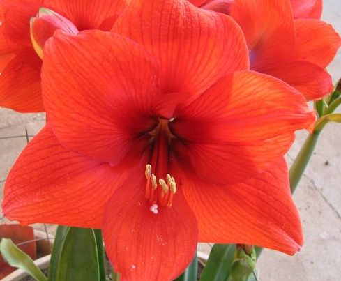 Hippeastrum Red Lion Lilly - Amaryllis red seeds