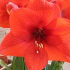 Hippeastrum Red Lion  semi