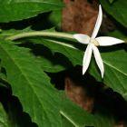 Hippobroma longiflora  semillas