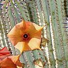 Hoodia parviflora Piante succulente semi