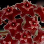 Hoya carnosa Burgundy Fleur de cire - Fleur de porcelaine graines