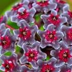 Hoya carnosa Multi Coloured Porzellanblume - Wachsblume Samen