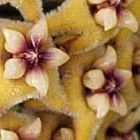 Hoya carnosa yellow-white-purple