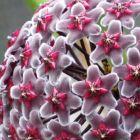 Hoya fusca Fleur de cire - Fleur de porcelaine graines