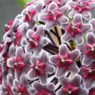 Hoya fusca  semillas