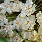 Hoya latifolia Fleur de cire - Fleur de porcelaine graines