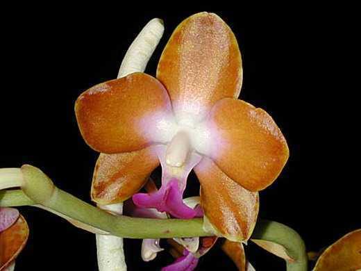 Hygrochilus parishii var. marriottiana orchids seeds