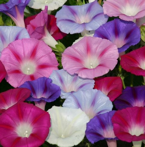 Ipomoea Lazy Luxe Mixed Morning Glory Lazy Luxe Mixed seeds