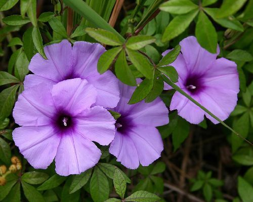 Ipomoea cairica morning glory seeds