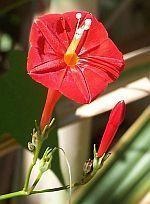 Ipomoea hederifolia  cемян