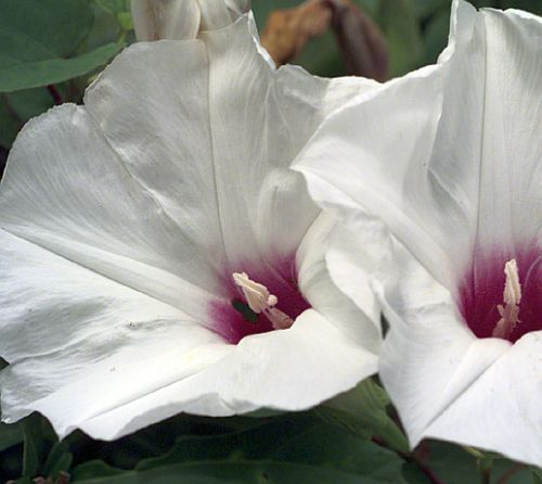 Ipomoea obscura var gracilis Obscure morning glory seeds