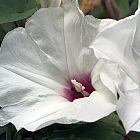 Ipomoea obscura var gracilis gloire du matin graines